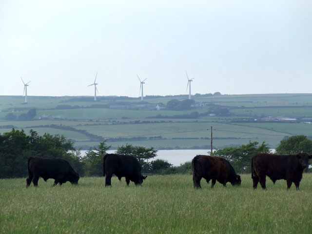 Four Cows and Four Wind turbines