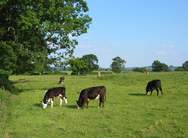 Bullocks grazing by Manor Farm