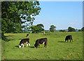 SJ5247 : Bullocks grazing by Manor Farm by Espresso Addict