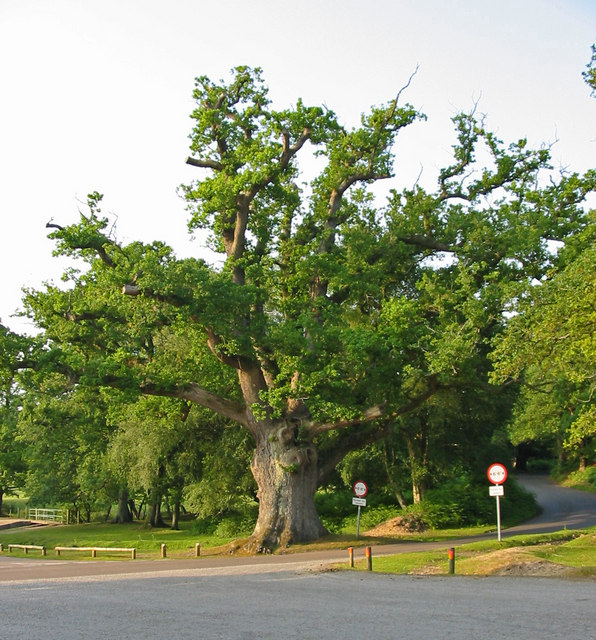 Ancient Oak at Moyles Court New Forest
