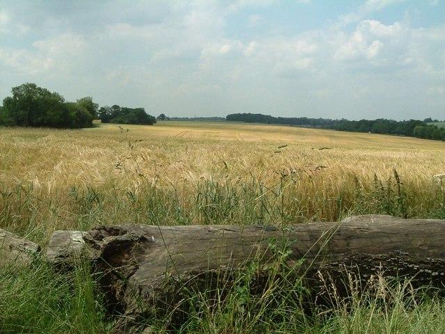 Barley Field, Kinsbourne Green