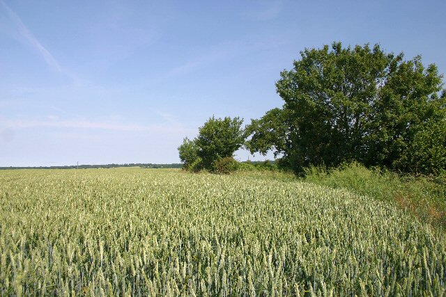 Wheatfield near Mickley Green
