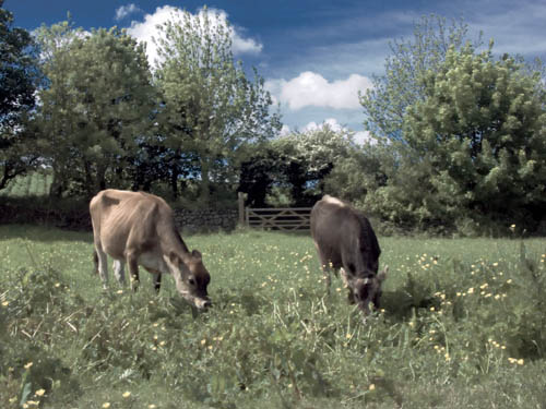 Cows grazing at Roskilly's Ice Cream Farm