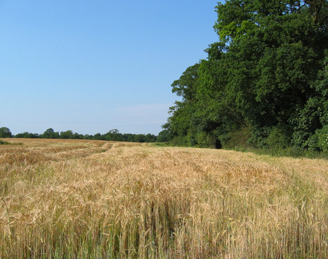 Barley field by Long Wood