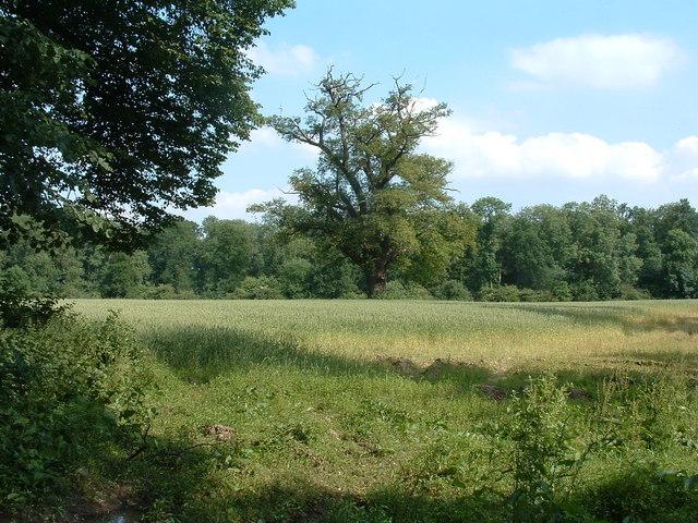 Great oaks from corn grows?