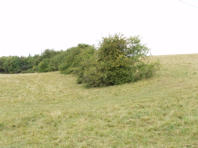 Bushes in pasture field, near Great Missenden