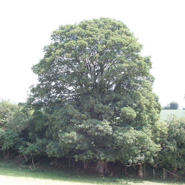 Sycamore tree in hedgerow, near Great Missenden