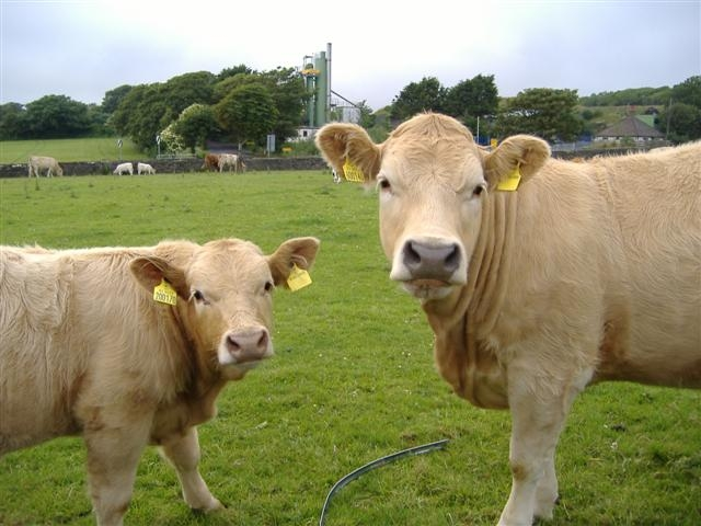 Cattle at Ballahott, Isle of Man