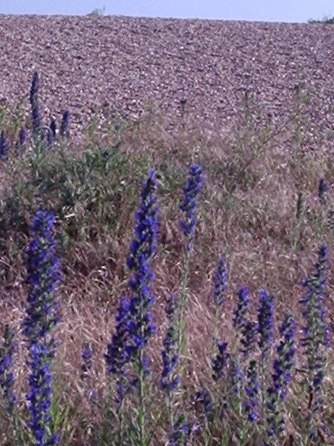 Viper's Bugloss/ Eastney Beach /June