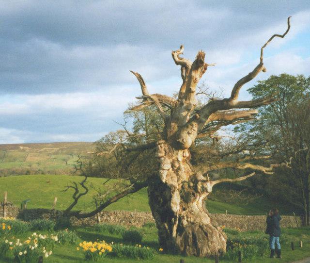 Laund Oak