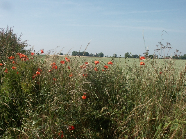 Hedgerow poppies, near Thurne