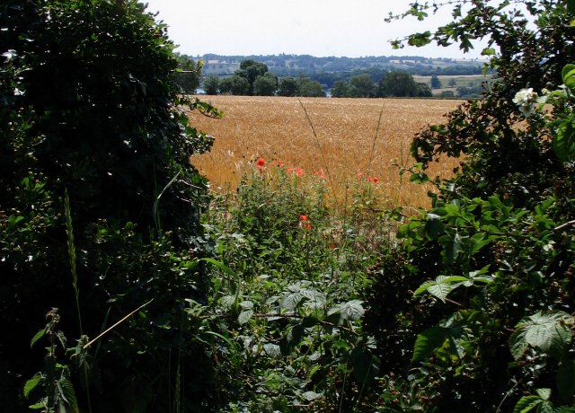Wheat field, Hollowell