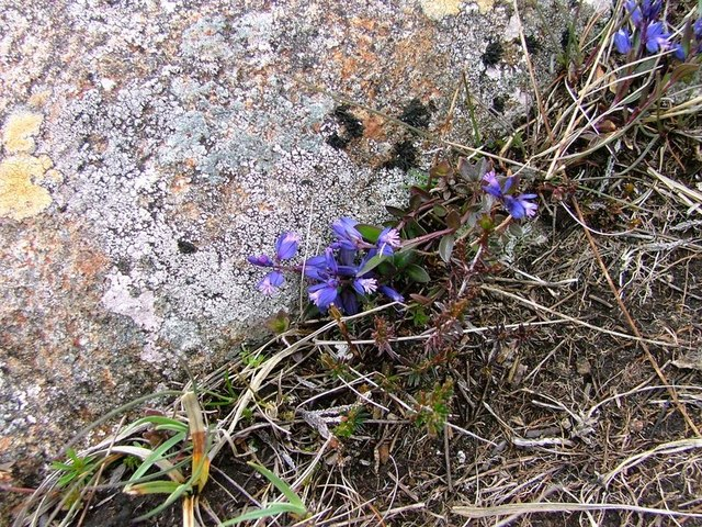Common Milkwort, 'S Airde Beinn