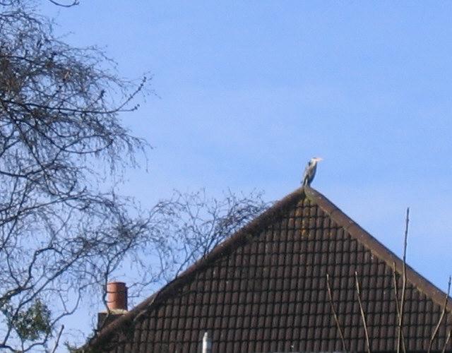 Urban Heron