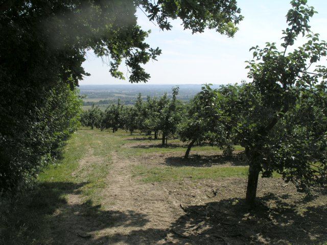 Orchard near Coxheath