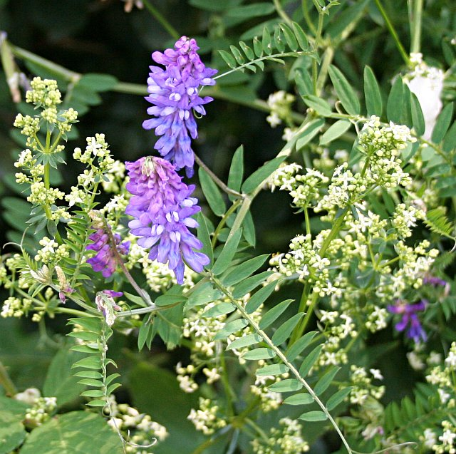 Tufted Vetch - Vicia cracca