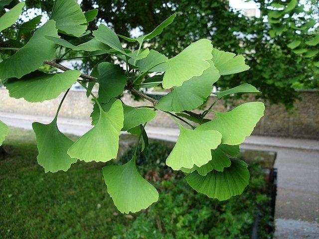 Maidenhair tree - detail