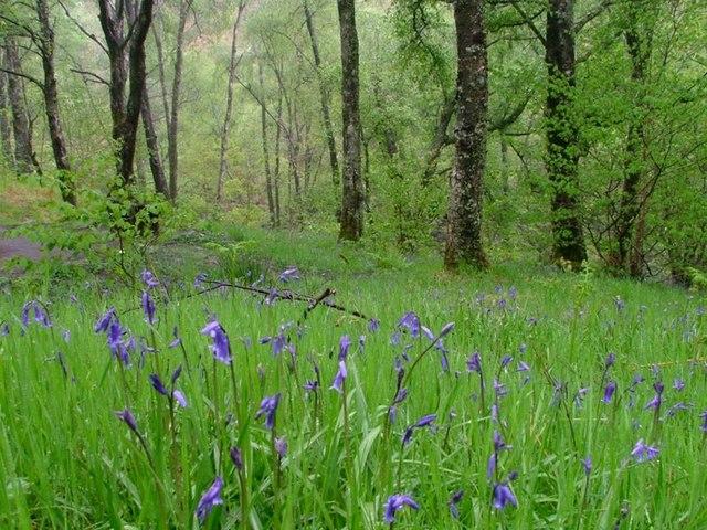 Bluebells in the Rain, Near Falloch