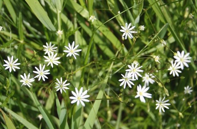 Lesser Stitchwort (Stellaria graminea)