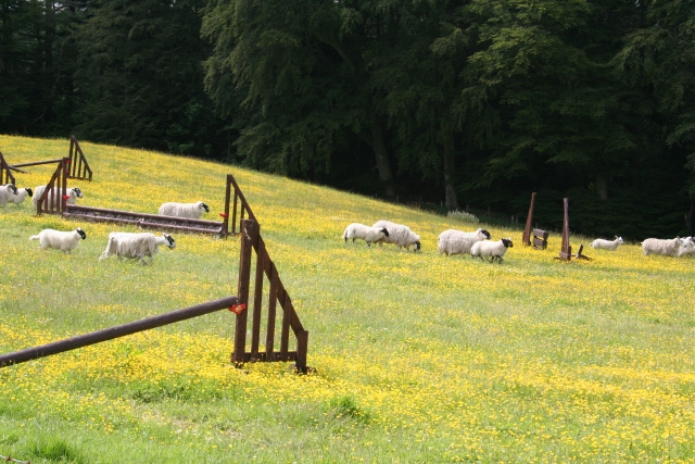 Buttercup field with sheep