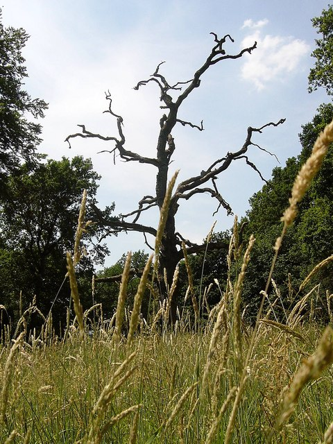 Dead tree, Tidbury Ring, Tunworth
