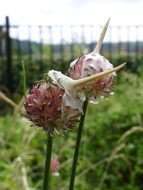 Crow garlic (Allium vineale)
