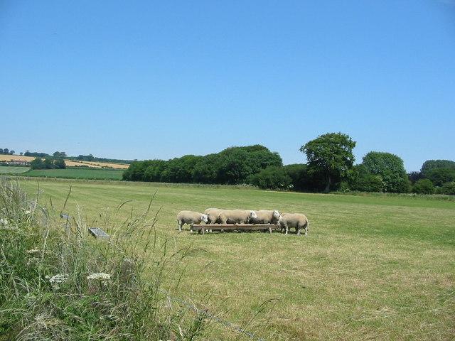 Sheep feeding near Brompton-by-Sawdon