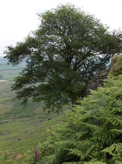 Tree  on crag, Carrock Fell