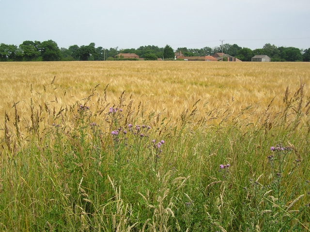 Barley, Sharp Street, near Catfield