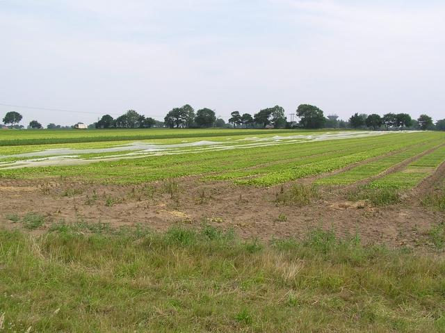 Salad field, near Catfield