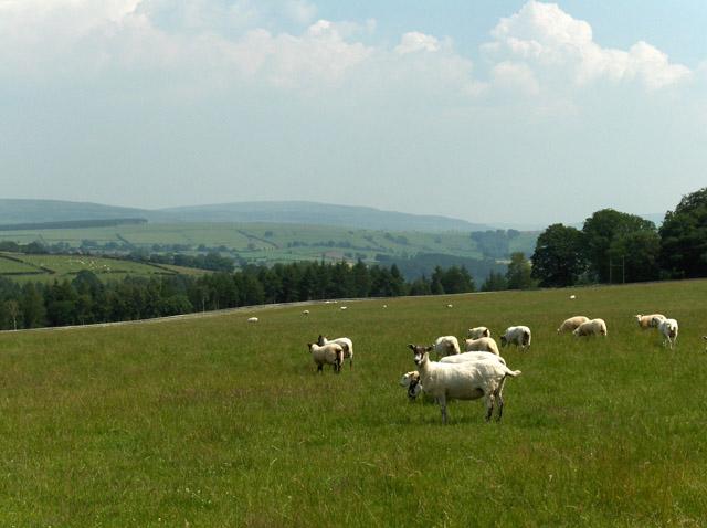 Sheep, Eden Brows
