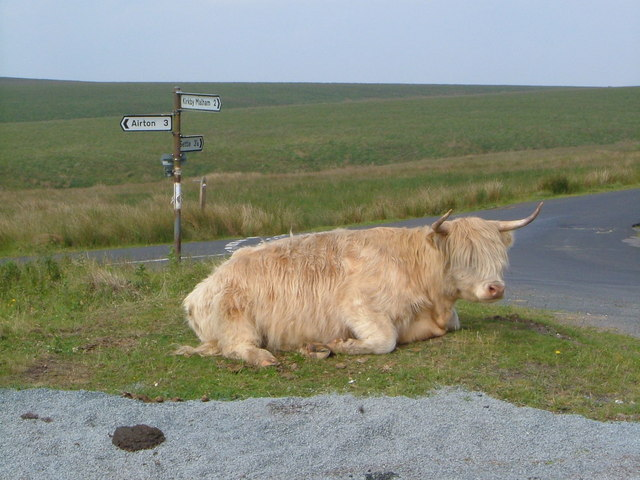 Highland cow on High Side
