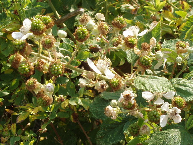 Blackberry flowers and unripe fruit, Hounslow Heath