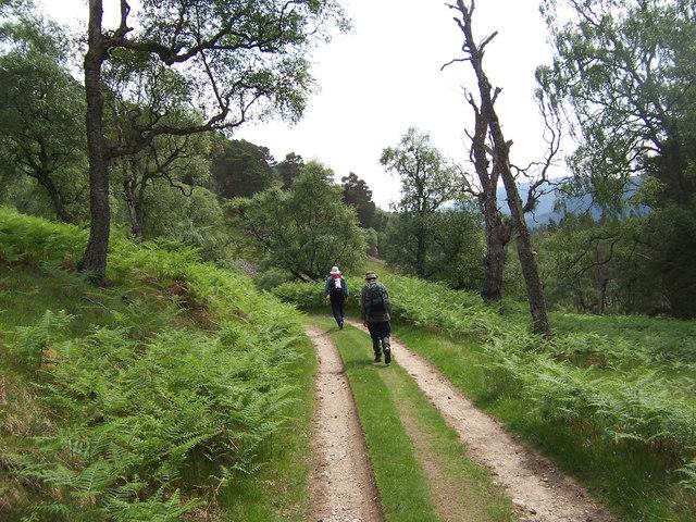 Track through birchwoods