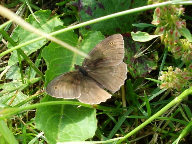 Meadow Brown butterfly (I think)