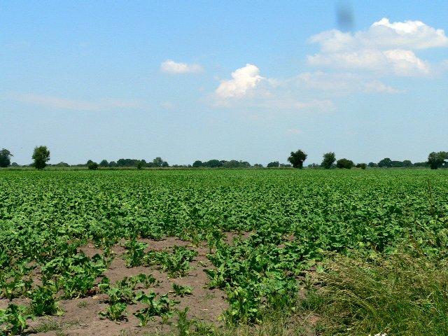 A Field of Sugar Beet