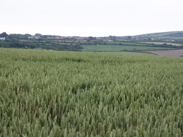 Wheatfield near Penhale-an-drea