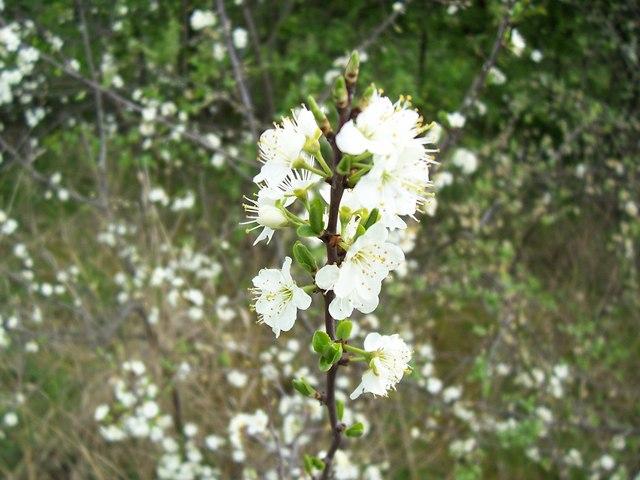 A species of Prunus