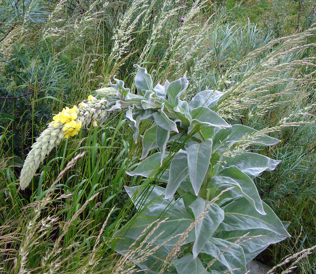 Great Mullein or Aaron's Rod