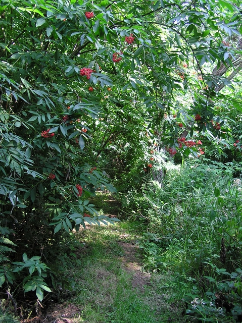 Red berries in July
