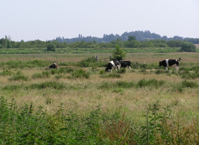 Cows on Horning Marshes