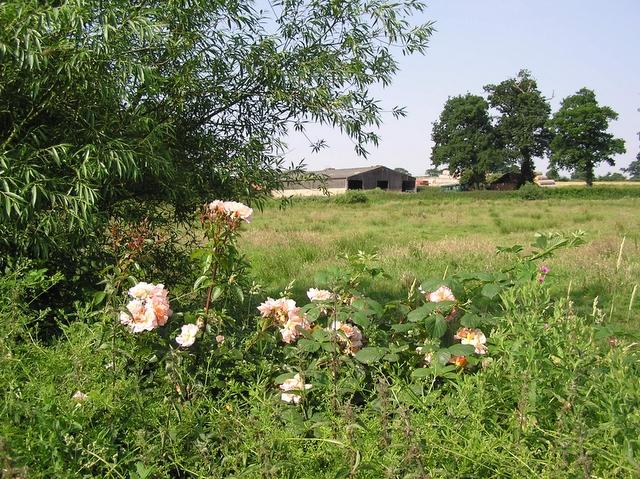 Wild roses, Horning