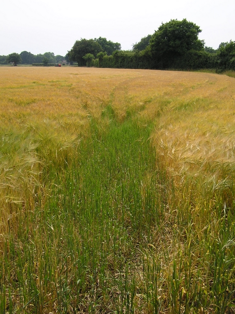 Barley field, Sharp Street