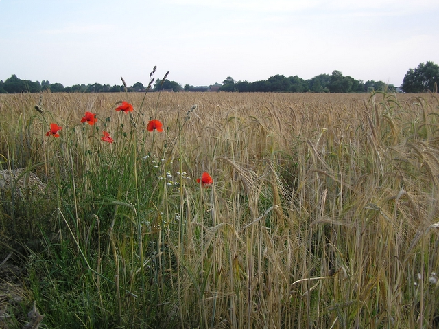 Poppies and barley, Hickling