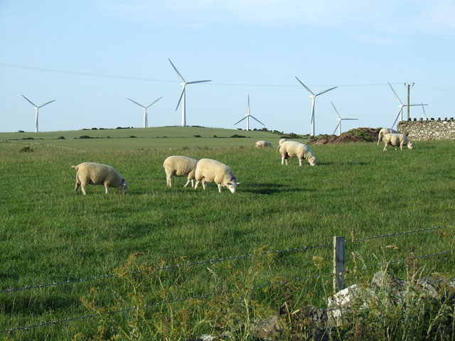 Grazing Sheep and a windfarm