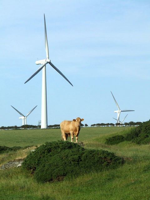 A Cow, a field and some wind turbines