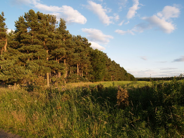 Pine Plantation adjacent to Boundary Lane