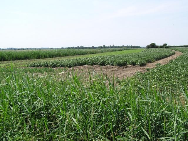 Potato field, Ludham
