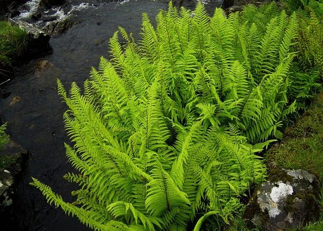 Ferns beside the Afon Arthog