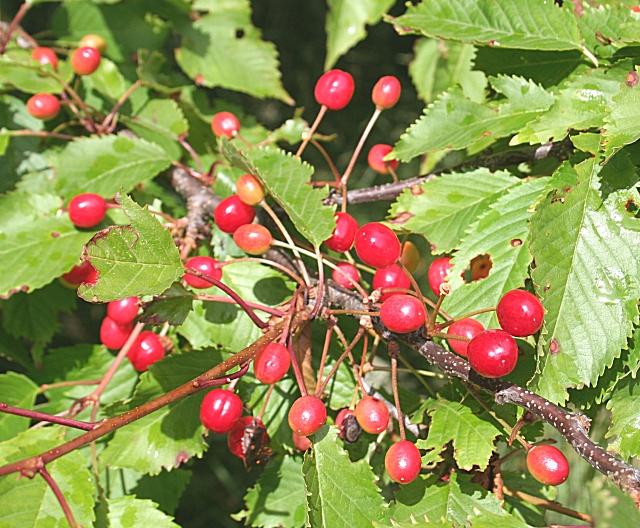 Gean (Prunus avium)